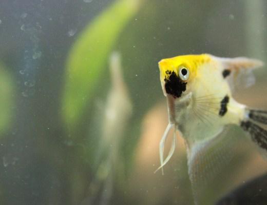 aquarium angelfish