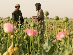 An Afghan man and boy work at a poppy fi