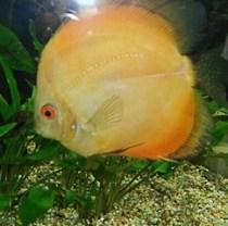 Pez disco marrón Symphysodon aequifaciatus axelrodi. El pez disco marrón es el pez disco original, el pez disco de color se deriva de esto.