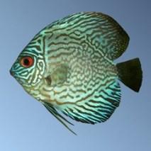 Pez disco verde Symphysodon aequifasciatus aequifasciatus. Los peces Discus verdes son, como su nombre lo indica, de color algo verde.