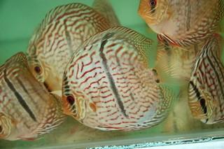 Heckel disco de pescado Symphysodon discus. El pez disco Heckel o el symphysodon tiene una banda negra vertical.