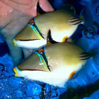 Assasi Triggerfish