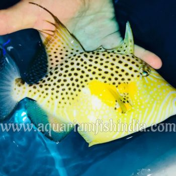 Golden Heart Triggerfish