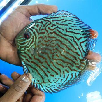 German Red Turquoise Discus Blue Base