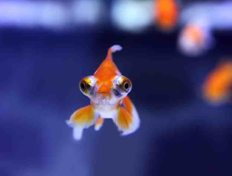 Goldfish in an aquarium looking for food