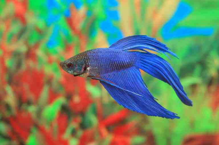 Betta fish swimming in best betta tank which is ideal for its needs