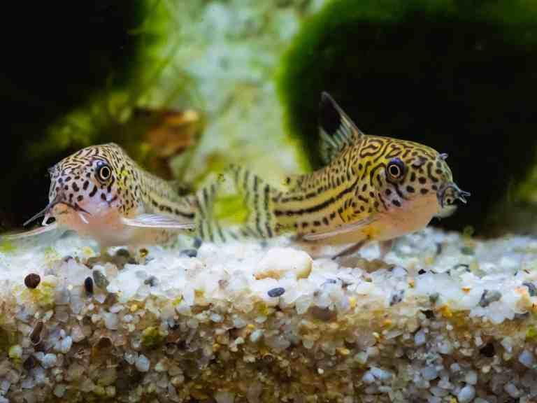 Cory catfish pair in aquarium