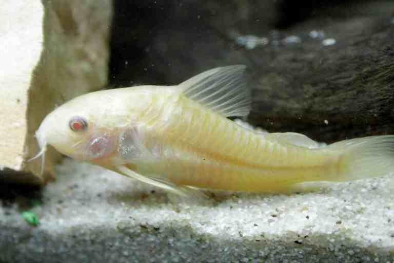 albino cory catfish on sand in fish tank