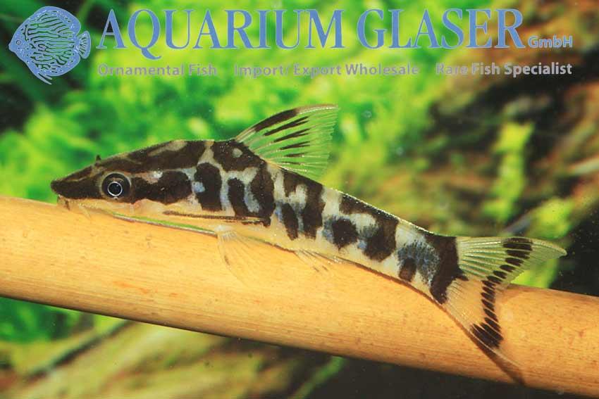 otocinclus cocama aquarium glaser