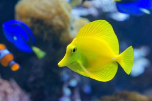 Yellow tang (Zebrasoma flavescens) is a saltwater fish species of the family Acanthuridae. It is one of the most popular aquarium fish