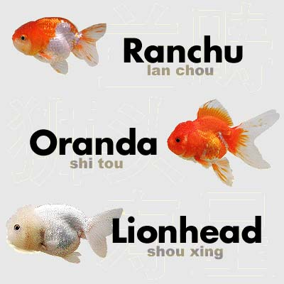 lionhead goldfish 2