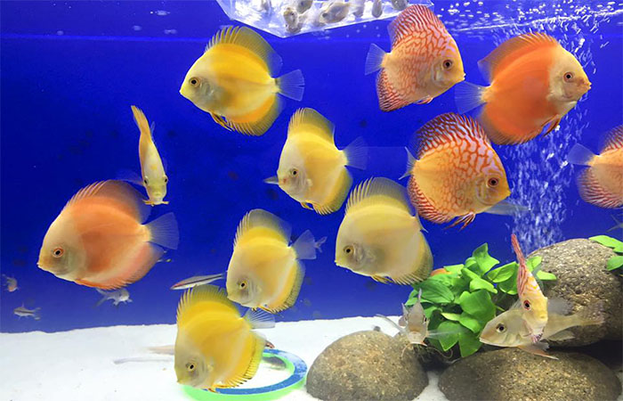 How to tame your Discus Fish