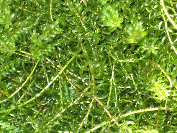 Freshwater Plants List