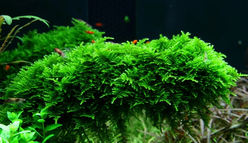 Christmas Moss U2013 7 Interesting Facts You Didnu0027t Know