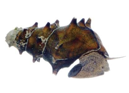 Brotia Pagodula