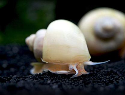 Ivory Apple Snail