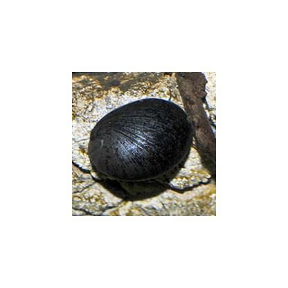 neripteron sp snail