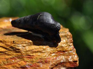 black panther snail (sulcospira testudinaria)