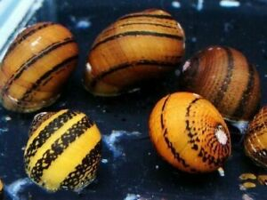 O-Ring nerite snail
