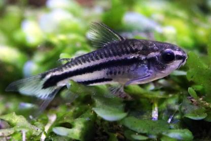 pygmy corydoras (corydoras pygmaeus)