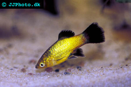 platy fish Picture