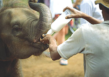 دار ايتام الفيل في سيريلانكا