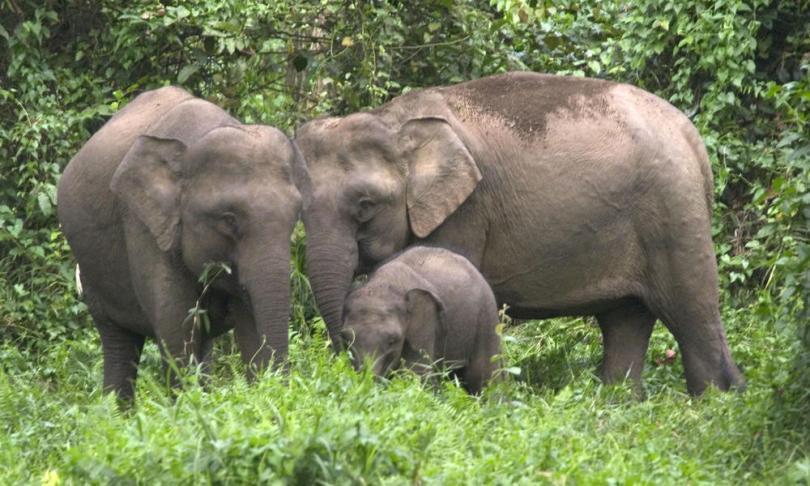 الفيل الآسيوي