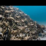 An army of spider crabs shed their shells – Blue Planet II: Episode 5 – BBC One