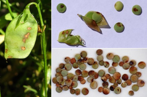Why Arab Americans Eat Lentils