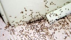 أفضل مبيد للقضاء على النمل