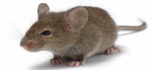تفسير رؤية الفئران في المنام