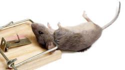 كيفية طرد الفئران من المنزل نهائيا