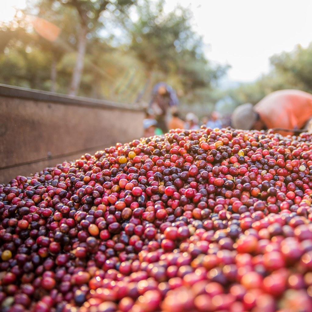 arabica koffiebonen vers geplukt