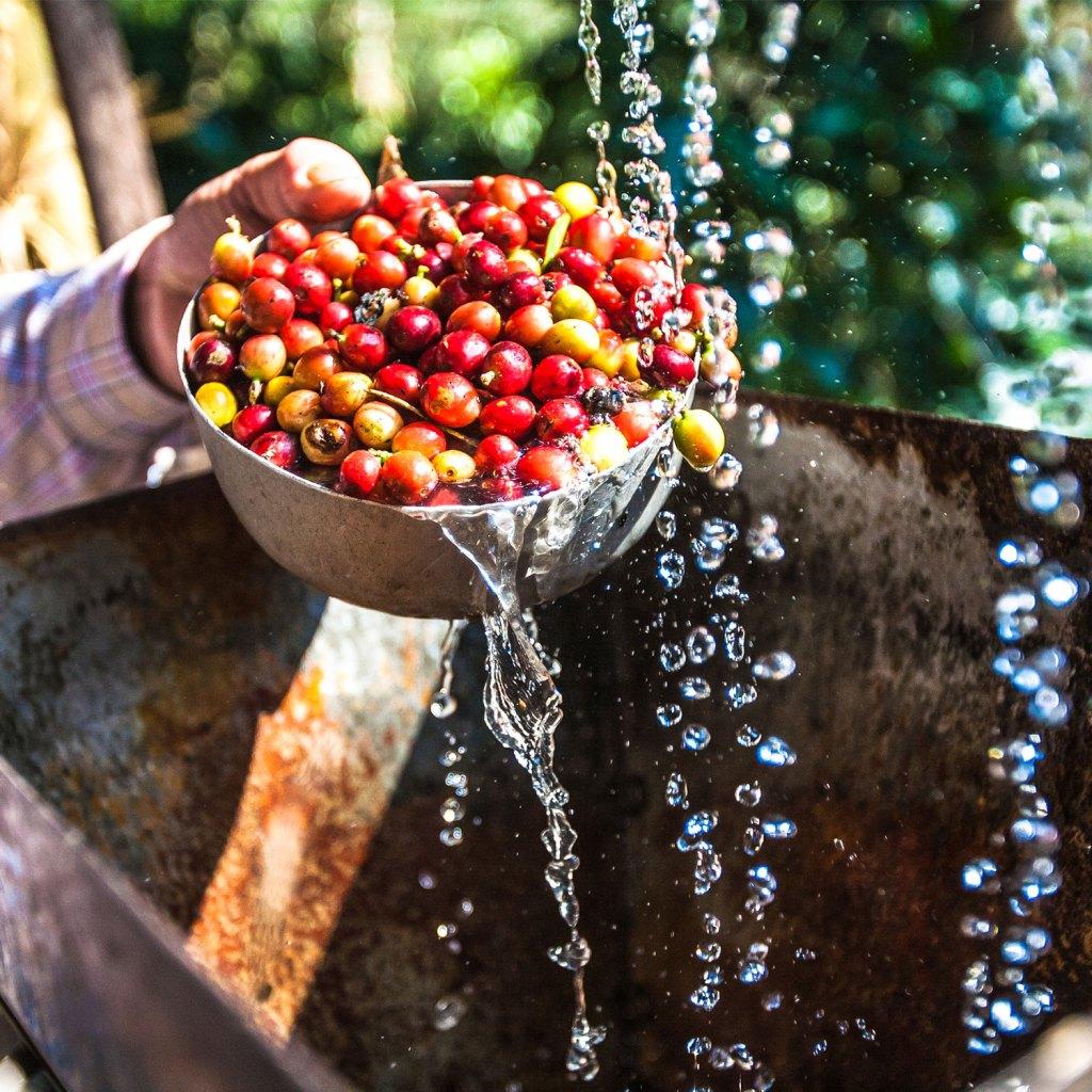 arabica koffiebonen wassen