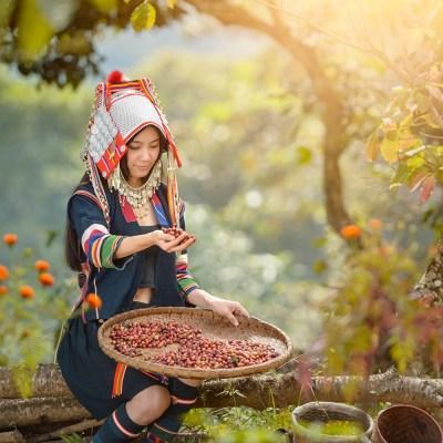 Vers geplukte arabica koffiebonen