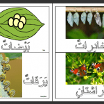 Butterfly Life Cycle Flashcards