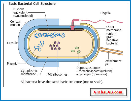 البكتيريا Ismail Mortada Medical Blog