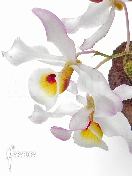 Araflora exotische flora  meer  Orchidee Dendrobium x