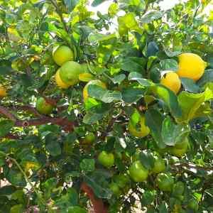 foto pianta limoni