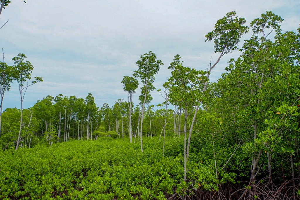 """ALT=""""the mangrove forest protection area bantayan island"""""""