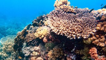 "ALT=""dive7000 batangas healthy corals freediving"""