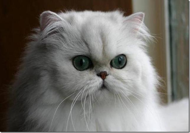gato-persa, Taringa