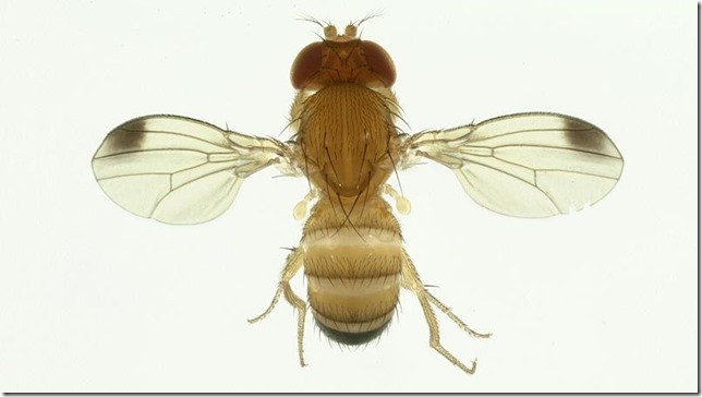 mosca de alas manchadas