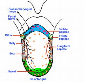 مواقع الاحساسات المختلفة في اللسان عند الانسان