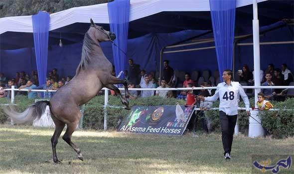 جيفارا يفوز بالمركز الأول في مسابقة جمال الخيول العربية الأصيلة