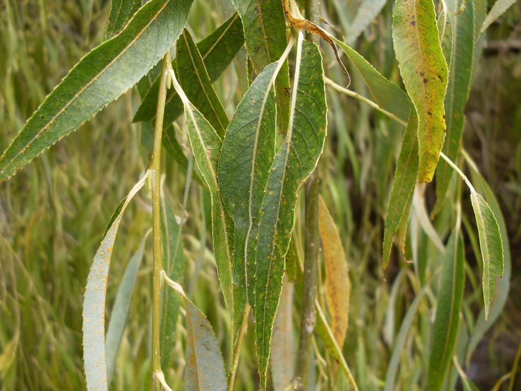 Yellow Spots Fruit Tree Leaves