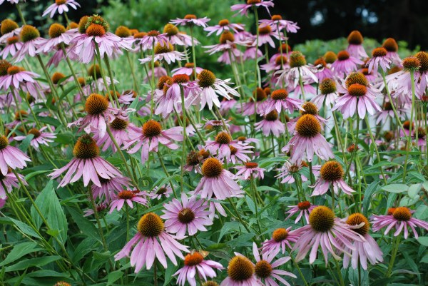 cold weather-tough perennials