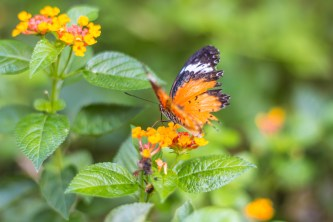 butterfly, Chiang Mai, Thailand, arboursabroad
