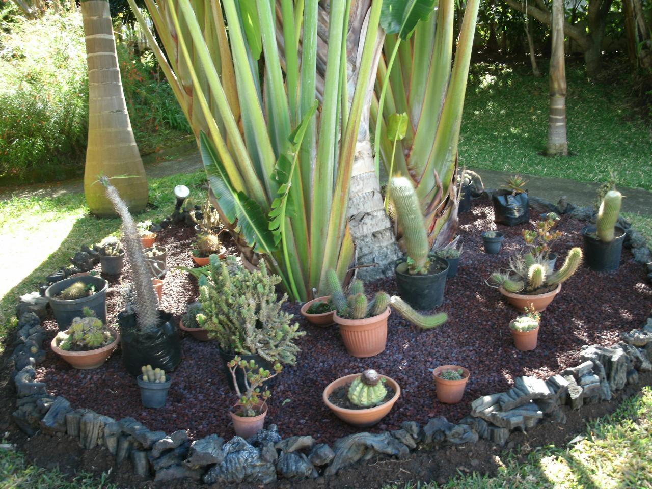 diffrents cactus au pied de larbre du voyageur