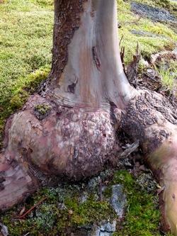 Madrone Wood or Arbutus Wood My Favorite Wood